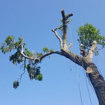 eric tree